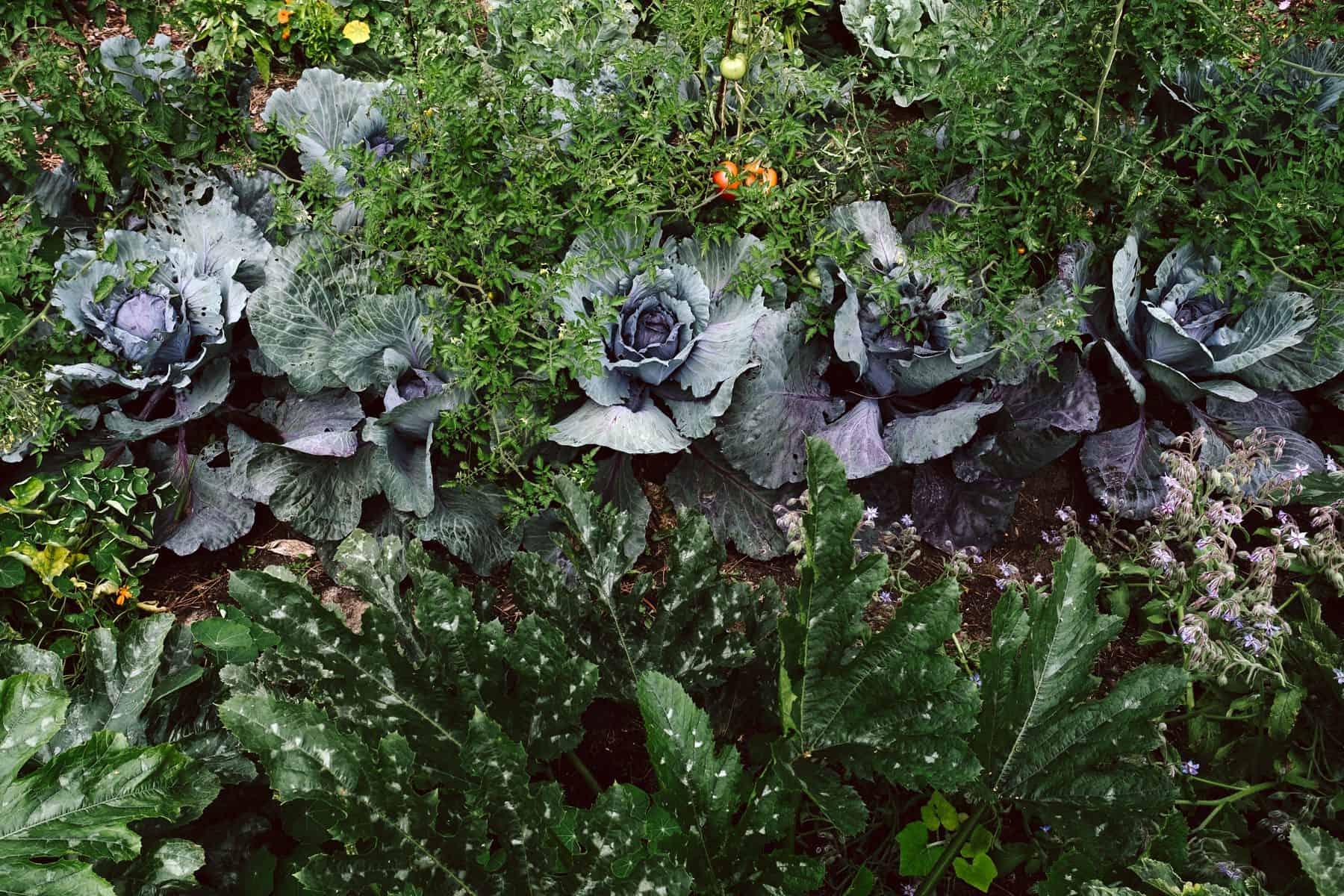 Selbstversorgung aus dem Gemüsegarten  KRAUTKOPF Farbe